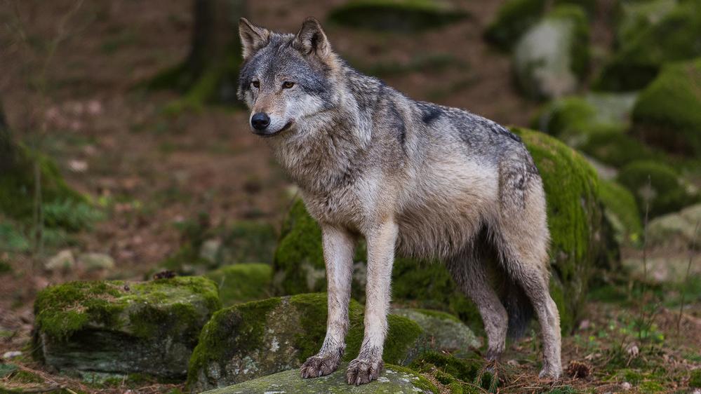Ezért nem kell félnünk a farkastól